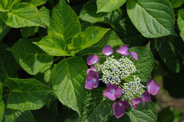 あっちではどんな花が咲いているんだろう。札幌ではまだアジサイです
