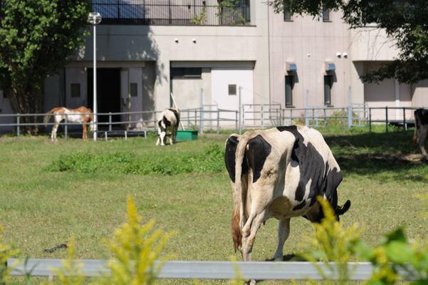 街の真ん中に牛が!さすが北海道大学