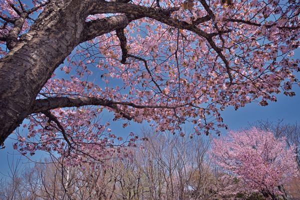 去年の子供の日の市内の桜