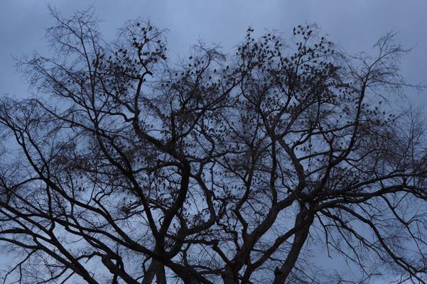 木の上がにぎやかです。ムクドリかな?