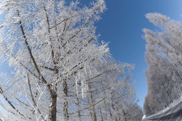 道沿いの木。最低気温ー18℃