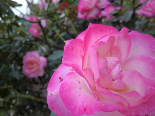 rose_convert_20101124170529.jpg