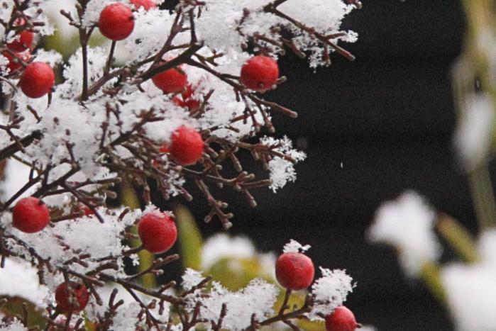 IMG_9397南天と雪印