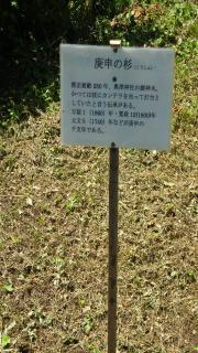 松の木説明