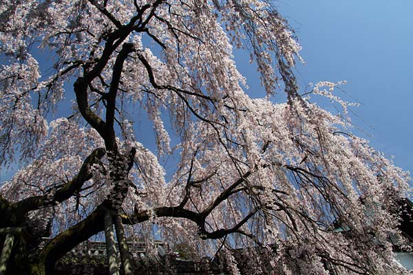 氷室神社 枝垂桜1