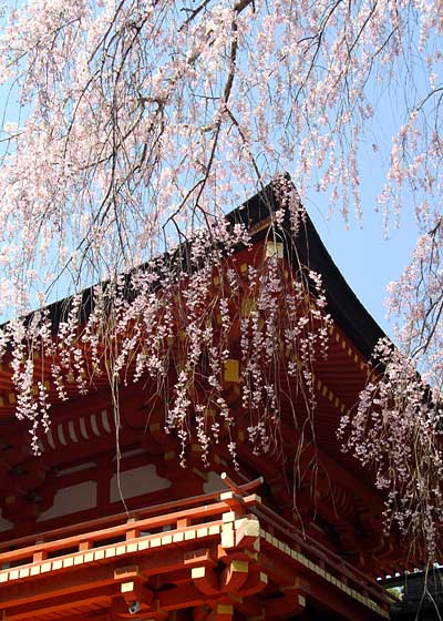 春日大社 枝垂桜