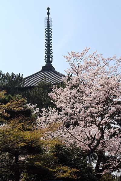 興福寺 桜1