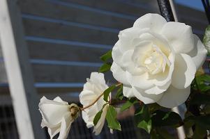 11月 白バラ