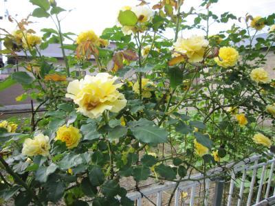 04薔薇1