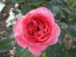 04薔薇7