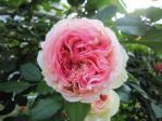 04薔薇12