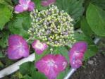28紫陽花3