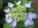 28紫陽花5