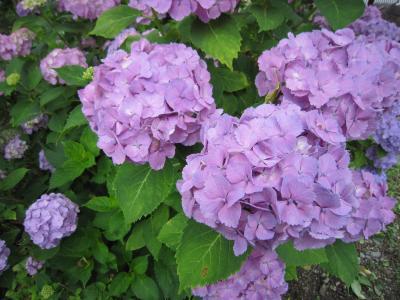 28紫陽花