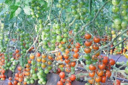 091222 tomato