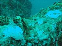 ブチウミウシ産卵