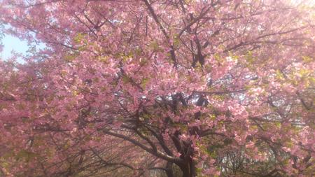 2013-03-17-02 河津桜