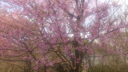 2013-03-17-03 修善寺彼岸桜