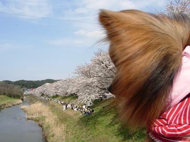 斐伊川堤防桜並木