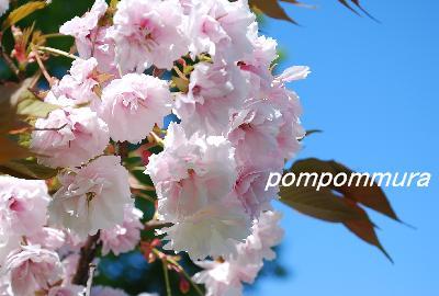 八重桜その1