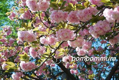 八重桜その4