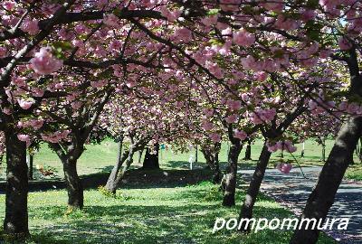 八重桜その3