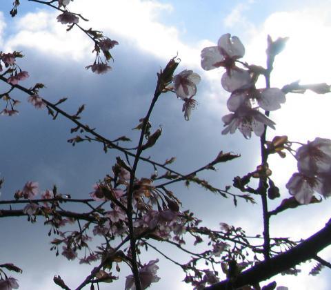 朝露かわず桜