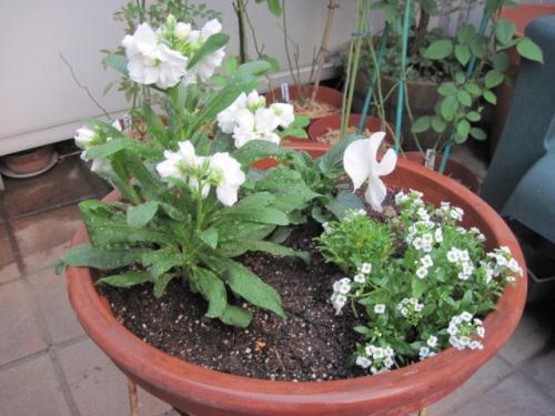 白い花だけの寄せ植え