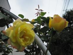 名無しの黄色いバラさん