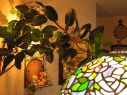 フレンチゴムの木