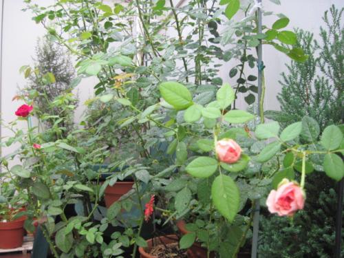 朝、涼しい時間のバラたち