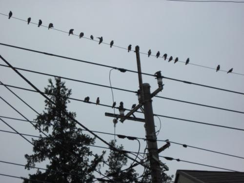 実際にはこの3倍くらいの鳥たちが集まっています