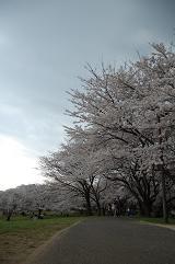 さくら2011-01