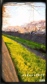 緑川の桜01