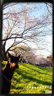 緑川の桜02