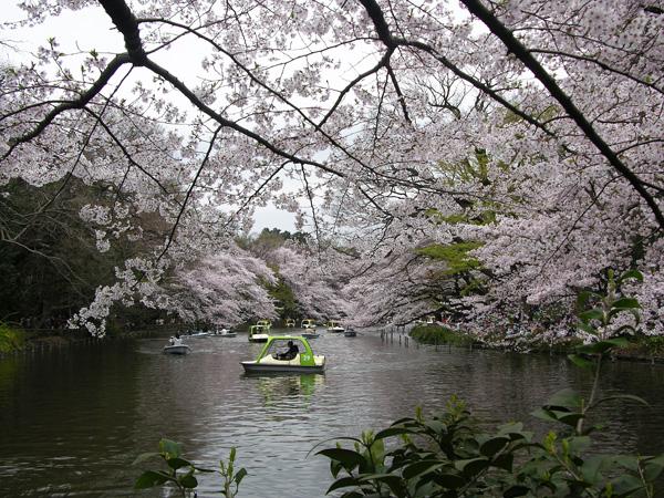 inokashirasakura.jpg