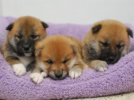 柴犬 3姉妹♀