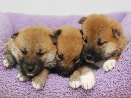 柴犬 3兄弟♂