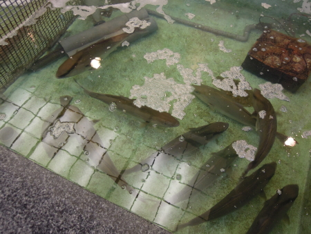 魚長生簀2