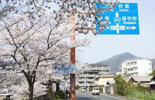 1.5)川端通りの桜