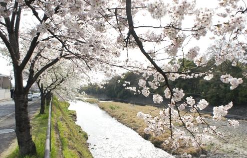 2)川端通りの桜―3