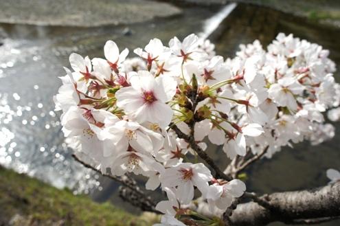 5)桜満開