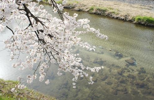 6)高野川の桜