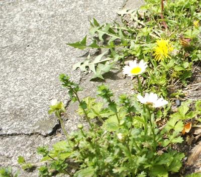 5)こぼれ種のノースポールも咲いてます