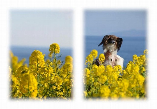 海と菜の花