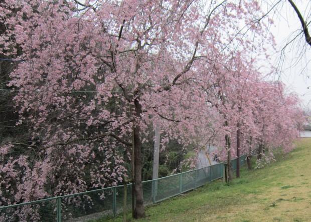 さくら公園しだれ桜