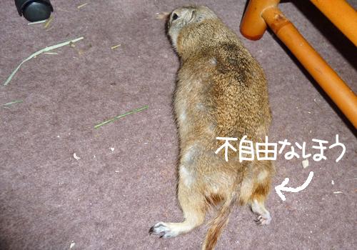 20110330のぴいちゃん