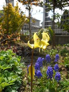 カタクリの花2010春
