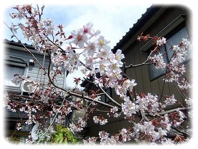 4.13桜