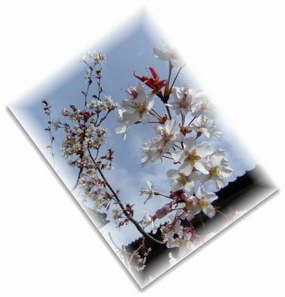4.13桜2